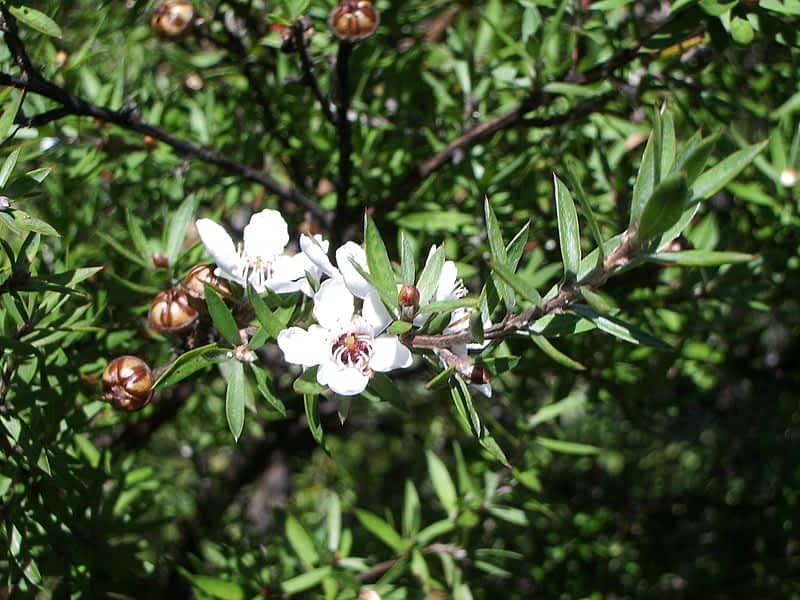 Leptospermum Scoparium o planta de la manuka